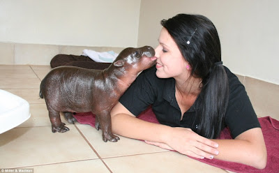 And Now a Mind-bogglingly Cute Pygmy Hippo To Brighten Your Day