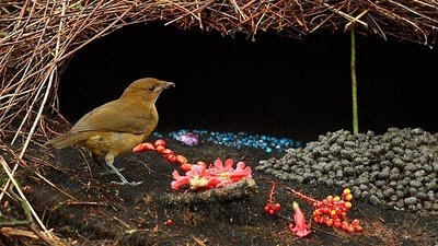 bowerbird and bower