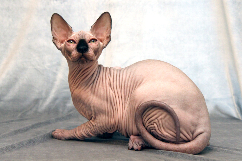 hairless cats Sphynx (スフィンクス sufinkusu) is the pet calico cat of index first found by index in the second volume of the light novels as an abandoned cat, it later becomes a constant companion to index with one not often appearing without the other.