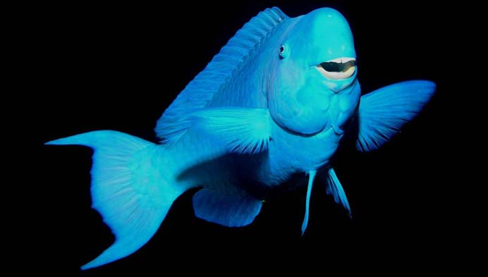 The derpiest fish you ever did see featured creature for Blue parrot fish