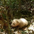 brown-and-white-panda1