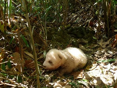 brown and white panda