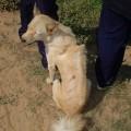 cambodian-razorback-dog1