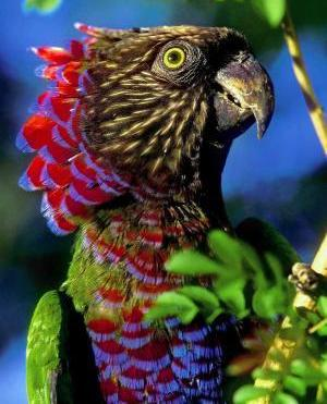 Resultado de imagem para red-fan parrot
