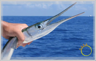 No Spine, No Problem for the Crocodile Needlefish!
