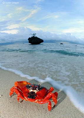Merry Christmas from the Christmas Island Crabs!