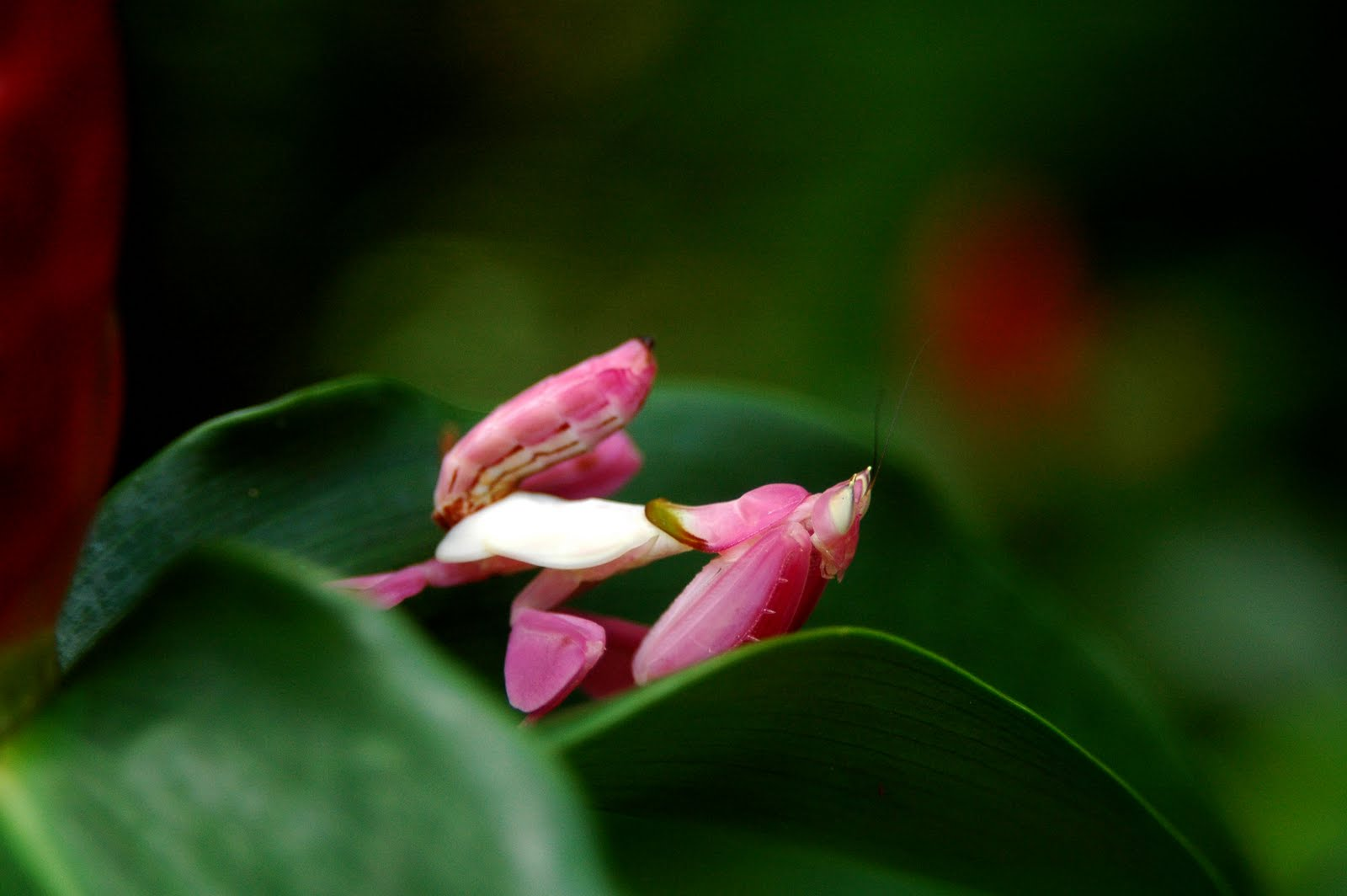 Reader Submitted Orchid Mantis Photos Featured Creature
