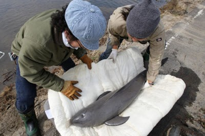 porpoise/dolphin saved after tsunami