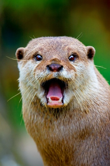 Stinky Or Sweet The Small Clawed Otter Featured Creature