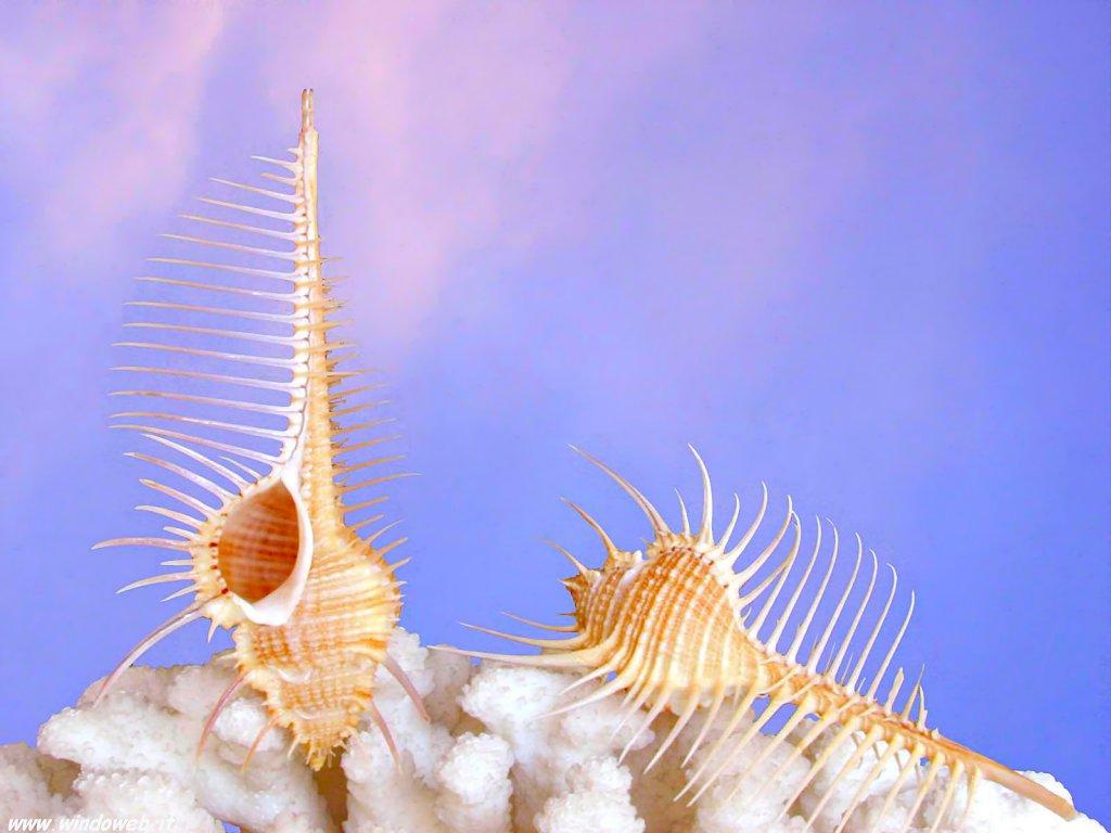 shell showcase venus comb murex featured creature