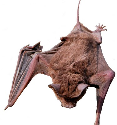mastiff bat/free-tailed bat