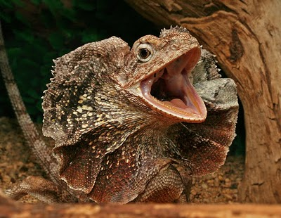 frilled lizard, frilled dragon