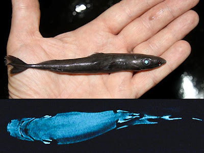 Is a Shark Still Scary Even When it's Pygmy-sized?