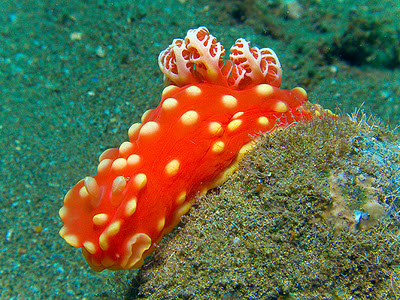 This Nudibranch Wore An Itsy-Bitsy, Teeny-Weeny, Yellow Polka-dot Bikini!