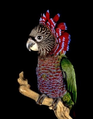 Red-fan Parrot, Deroptyus accipitrinus, Hawk-head Parrot