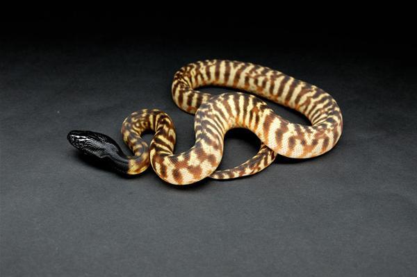 Black Headed Pythons Amp Their Unusal Sunbathing Technique