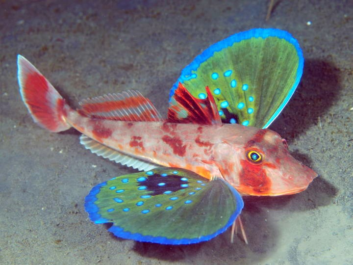 The butterfly of the sea red gurnard featured creature for Wings and fish