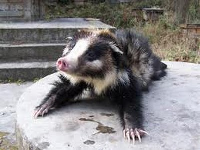 hog badger, Arctonyx collaris