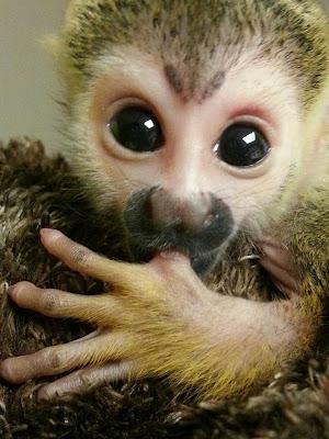 Baby Squirrel Monkey Cuteness Overload Featured Creature