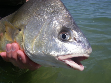 Teeth is stranger than fiction featured creature for Sheepshead fish eating