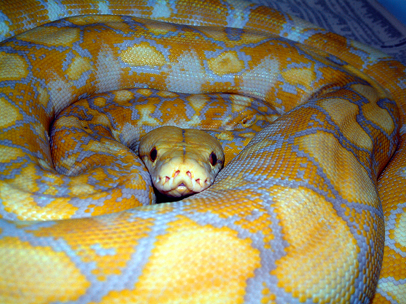 Lavender albino tiger reticulated python - photo#12