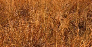 lion camouflage