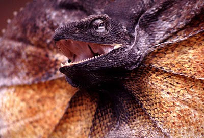 Your Neck May be Frilled, but I Still Love You Frilled Lizard