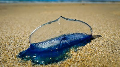 By-the-wind Sailor, Velella velella