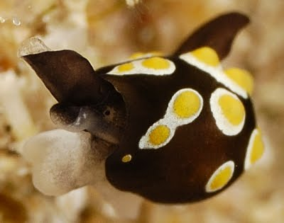 Fried Egg Sea Slug, Colpodaspis thompsoni