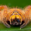 malaysian__orange_huntsman_by_melvynyeo-d4egz671