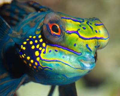 mandarinfish, Synchiropus splendidus