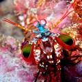 mantis-shrimp1