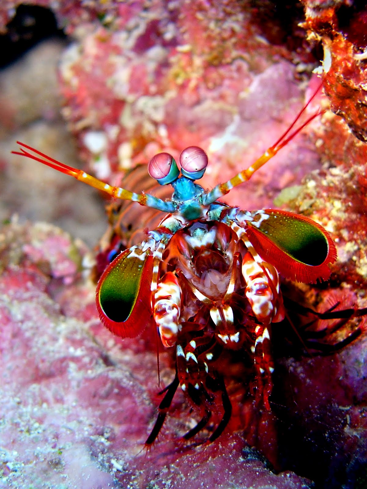 Don't Mess with the Peacock Mantis Shrimp | Featured Creature