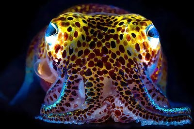 The Hawaiian Bobtail Squid and its Crazy Tricks