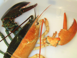 'Halloween' Lobster Debuts at Boston Aquarium