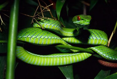 New Pit Viper Found!