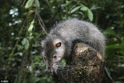 Bosavi woolly rat