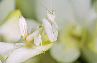 orchid mantis, cool