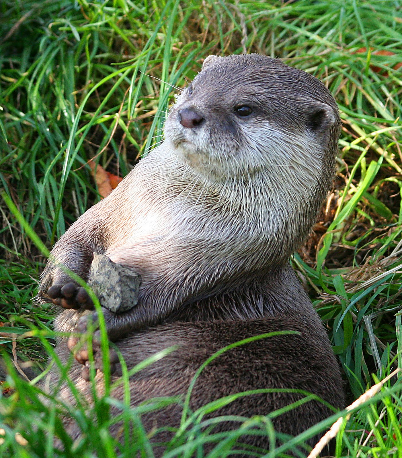 Stinky or Sweet? The Small-Clawed Otter | Featured Creature