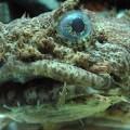 oystertoadfish_edit1