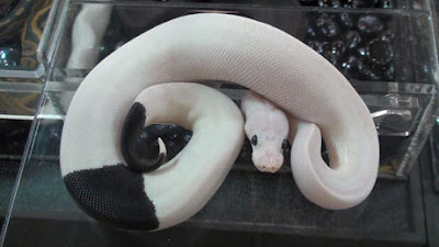 Major Morphs: Panda Pied Python!