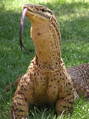 yellow-spotted monitor