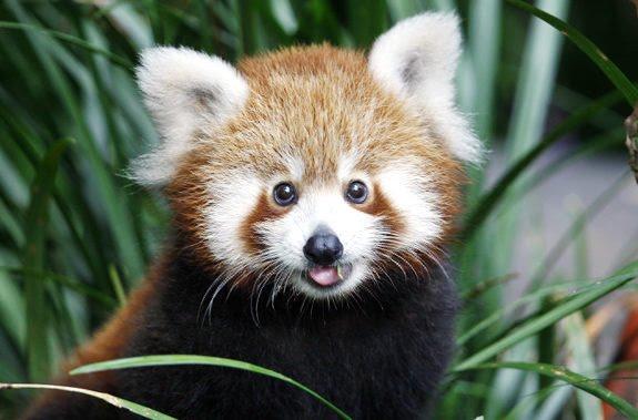 pemba-the-baby-red-panda-15413-123629134