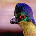 purple-crested_turaco1