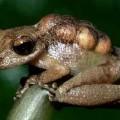 pygmymarsupial1