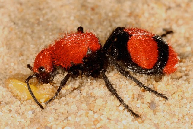 Fuzzy Doesn't Mean Friendly: Red Velvet Ants | Featured ...