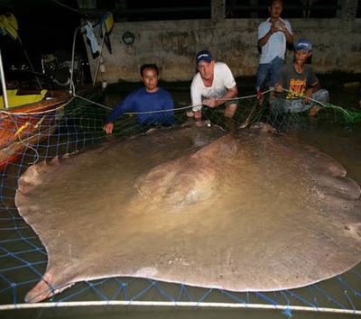giant freshwater stingray
