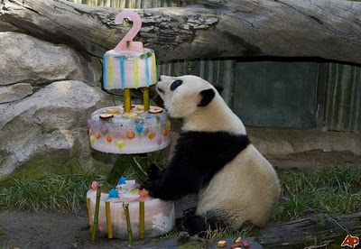 panda birthday san diego zoo