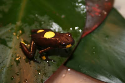 Harlequin Poison Dart Frogs, Oophaga histrionica, Oophaga sylvatica
