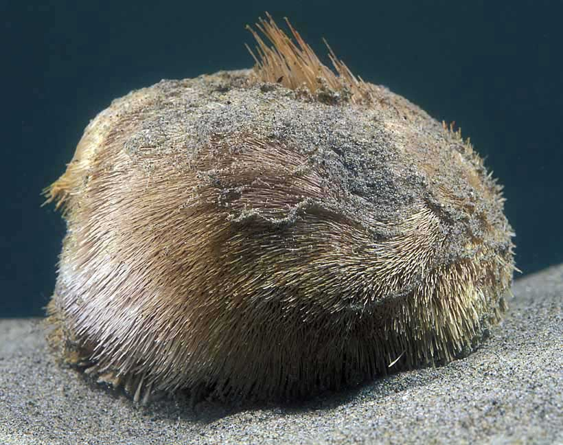 Uncovering The Sea Potato S Story Featured Creature